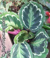 Calathea x Medallion