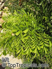 Caryota ophiopelis - Snakeskin Fishtail Palm  Click to see full-size image