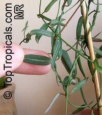Ceropegia debilis, Ceropegia linearis ssp. debilis, Rosary Vine  Click to see full-size image