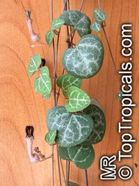 Ceropegia linearis subsp. woodii, Rosary Vine, Chain of hearts  Click to see full-size image