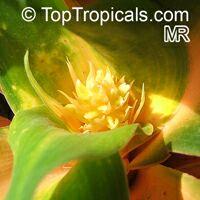 Chlorophytum orchidantheroides, Chlorophytum amaniense, Chlorophytum orchidastrum, Mandarin Plant, Fire Flash, Fire GloryClick to see full-size image