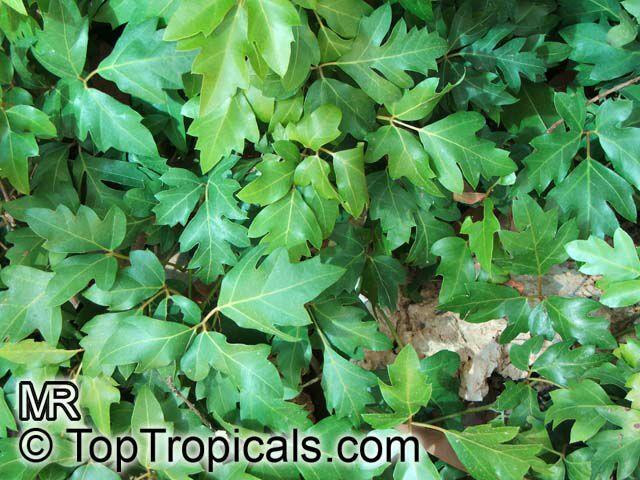 Cissus Rhombifolia Grape Ivy Oak Leaf Ivy Toptropicals Com