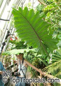 Colocasia sp., Elephant Ear  Click to see full-size image