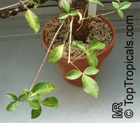 Commiphora orbicularis, Commiphora  Click to see full-size image