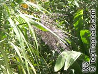 Cordyline stricta, Narrow-leaved Palm Lily  Click to see full-size image