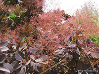 Cotinus coggygria, Rhus cotinus, Smoketree  Click to see full-size image