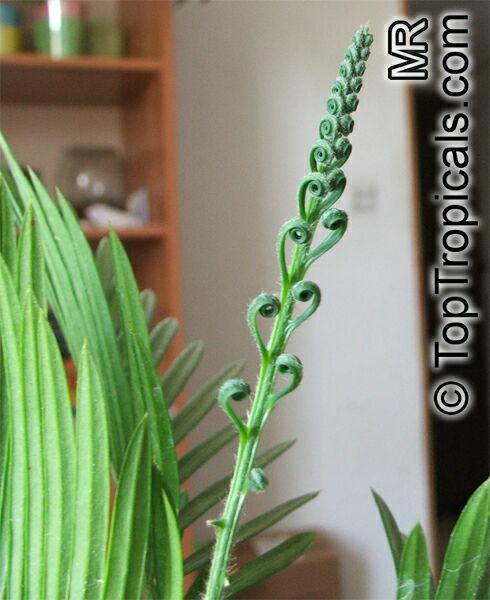 Cycas Revoluta Care Cycas Revoluta Sago Palm