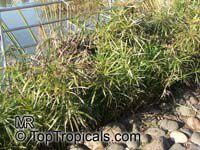 Cyperus sp., FlatsedgeClick to see full-size image
