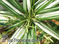 Cyperus sp., Flatsedge