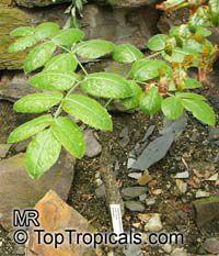 Cyphostemma roseiglandulosa, Cyphostemma  Click to see full-size image