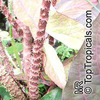 Cyrtosperma johnstonii , Arbi  Click to see full-size image