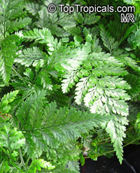 Davallia sp., Rabbits Foot Fern, Hare's-foot Fern  Click to see full-size image