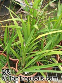 Dianella sp., Flax Lily