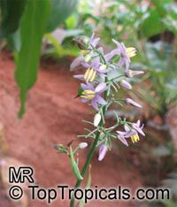 Dianella sp., Flax Lily  Click to see full-size image