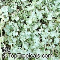 Dichondra argentea, Silver Falls, Silver Dichondra, Silver Pony-foot, Kidneyweed  Click to see full-size image