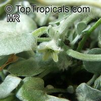 Dichondra argentea, Silver Falls, Silver Dichondra, Silver Pony-foot, Kidneyweed