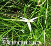 Dichromena sp., Rhynchospora sp., Star Grass, Star Rush, White Topped Sedge  Click to see full-size image