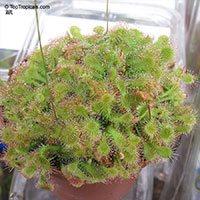 Drosera sp., Sundew  Click to see full-size image