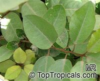 Elaeagnus pungens, Thorny Elaeagnus, Spotted Elaeagnus, Silverthorn