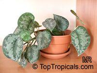 Epipremnum pictum Argyraeum, Scindapsus pictus Argyraeus, Satin Pothos, Silk Pothos, Silver Philodendron   Click to see full-size image
