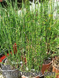 Equisetum hyemale, Horsetail, Scouring RushClick to see full-size image