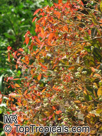 Euphorbia cotinifolia, Red spurge, Mexican shrubby Spurge, Caribbean Copper Plant  Click to see full-size image