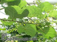 Ficus abutilifolia, Large-leaved Rock Fig, Rock Wild Fig   Click to see full-size image