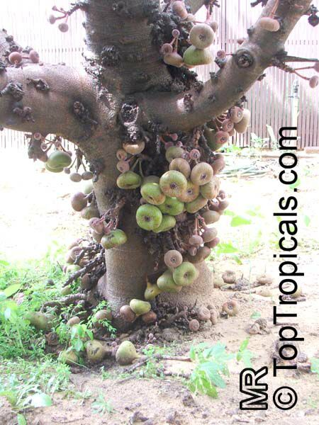 Ficus auriculata, Ficus roxburghii, Elephant ear fig tree, Giant ...