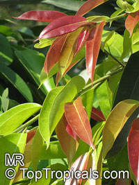 Ficus binnendijkii, Ficus maclellandii, Long-leaf fig  Click to see full-size image