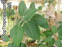 Ficus palmeri, Rock Fig