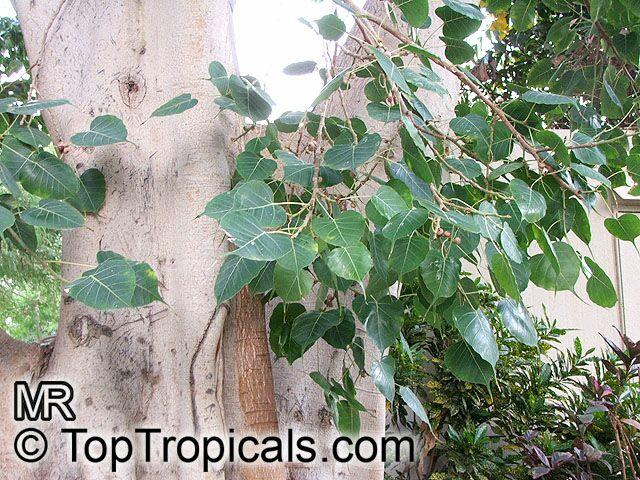 Ficus religiosa, Bo-Tree, Sacred Ficus - TopTropicals.com, rare ...