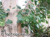 Ficus religiosa, Bo-Tree, Sacred Ficus, Peepal Tree  Click to see full-size image