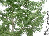 Ginkgo biloba, Fossil tree, Maidenhair tree, Japanese silver apricot