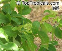 Heteromorpha arborescens, Parsley Tree  Click to see full-size image