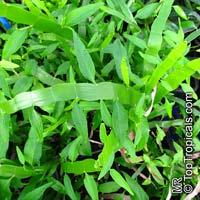 Homalocladium platycladum, Muehlenbeckia platyclada, Centipede Plant, Tapeworm Plant, RibbonbushClick to see full-size image