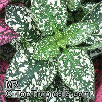 Hypoestes phyllostachya, Hypoestes sanguinolenta, Polka Dot plantClick to see full-size image
