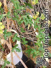 Kedrostis africana, Bryonia africana, Baboon's Cucumber  Click to see full-size image
