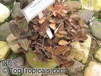 Ludisia discolor, Haemaria discolor, Anoectochilus dawsonianus, Myoda rufescens, Jeweled Ludisia, Jewel Orchid, Goodyera  Click to see full-size image