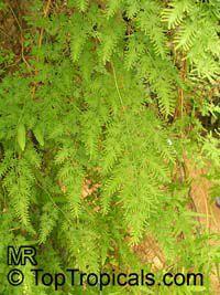 Lygodium japonicum, Japanese Climbing Fern  Click to see full-size image