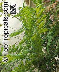 Mahonia sp., Mahonia, Holly Grape  Click to see full-size image