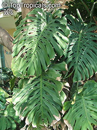 Monstera deliciosa, Philodendron pertusum, Swiss Cheese Plant, Fruit Salad Plant, CerimanClick to see full-size image