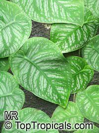 Monstera dubia - Penanola, Shingle Plant (G340)  Click to see full-size image