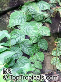 Monstera dubia, Penanola, Shingle Plant  Click to see full-size image