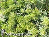 Myrica quercifolia, Oak-leaved Myrica, Waxberry Bush