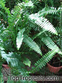 Nephrolepis sp., Sword Fern