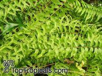 Nephrolepis falcata furcans, Nephrolepis biserrata var. furcans, Fishtail Swordfern   Click to see full-size image