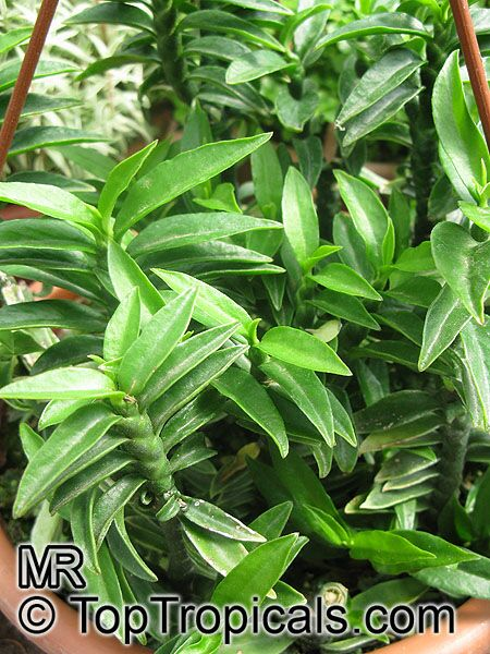 Комнатное растение листы длинные фото