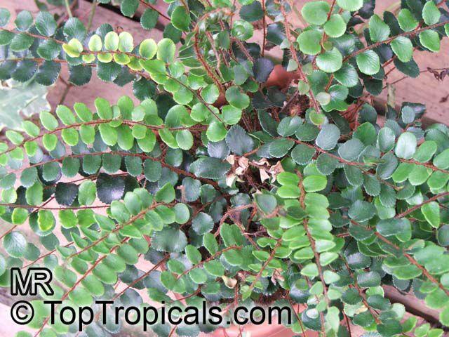 Botanical Family Sinopteridaceae Adiantaceae