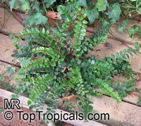 Pellaea rotundifolia , Button Fern, Round-leafed Fern, Tarawera  Click to see full-size image