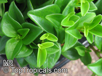 Peperomia sp., Radiator Plant
